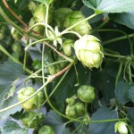 Hops growing on a vine