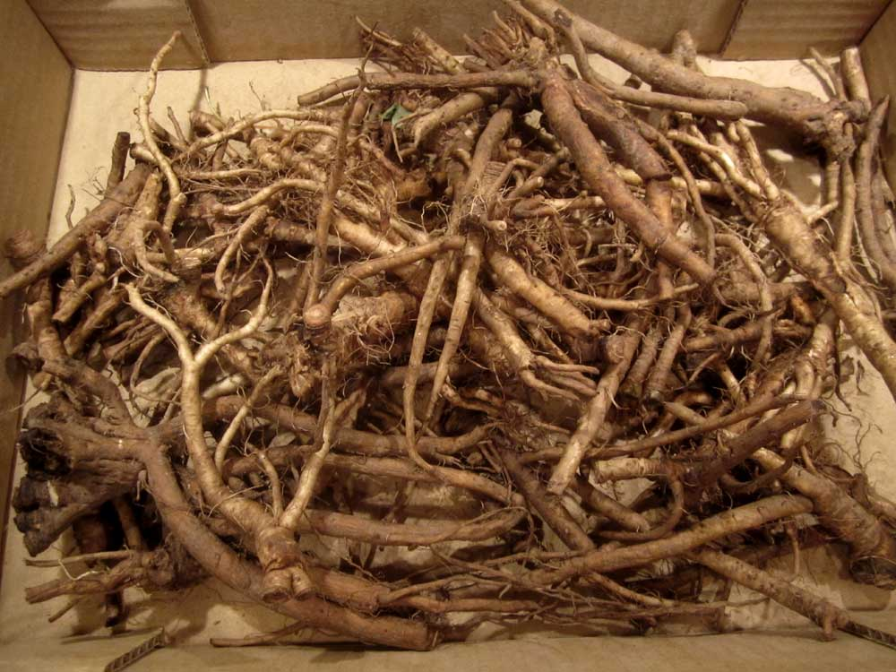 Dandelion Roots | Suburban Foragers