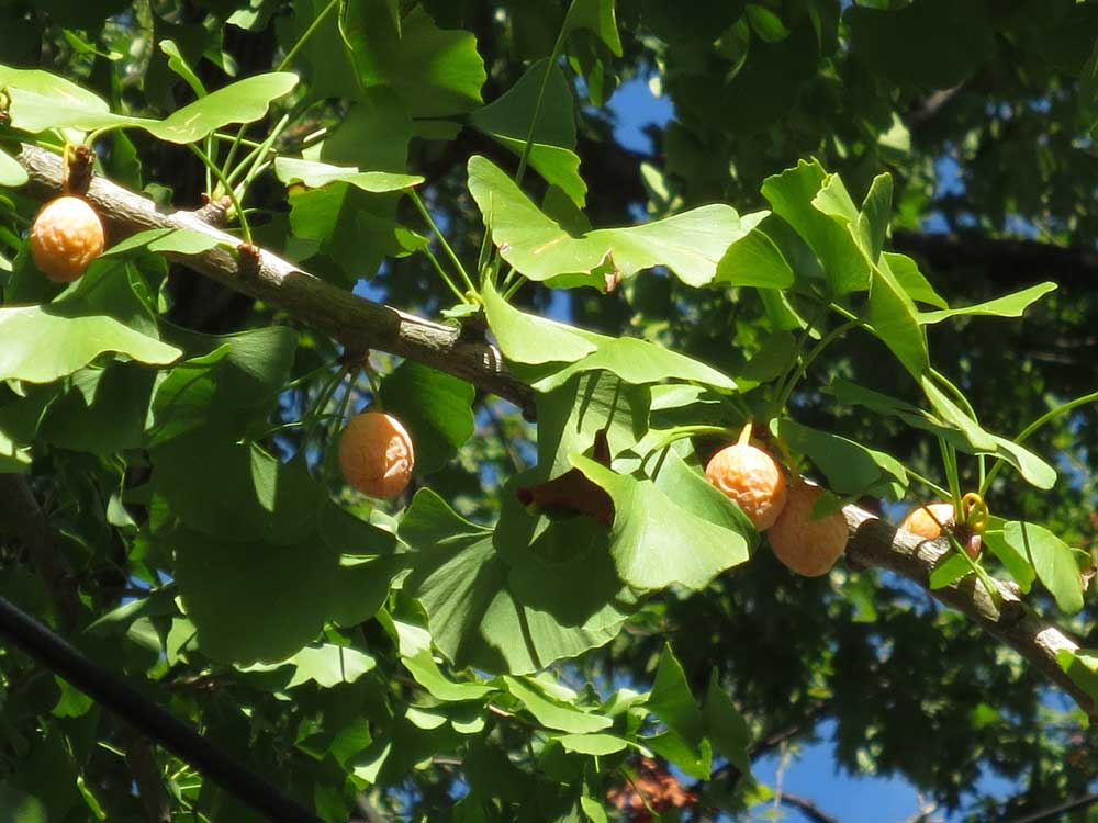 Where to find ginkgo biloba