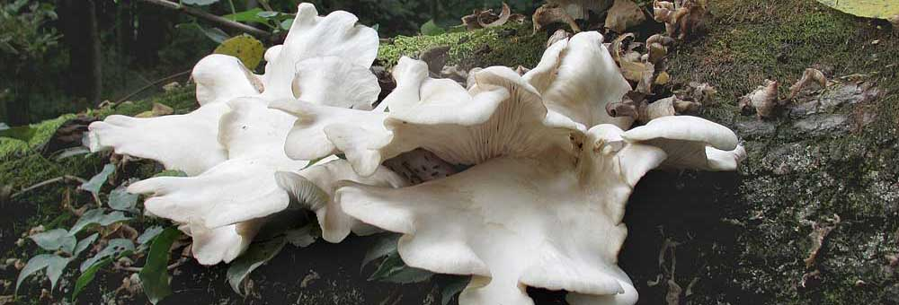 Oyster mushrooms-1000x340