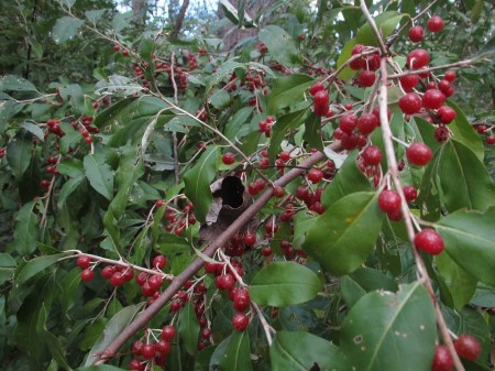 Berries on bush