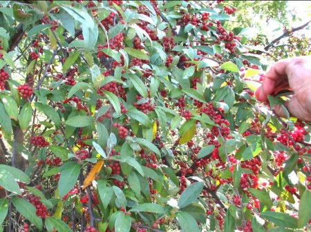Autumn Olive bush full of berries