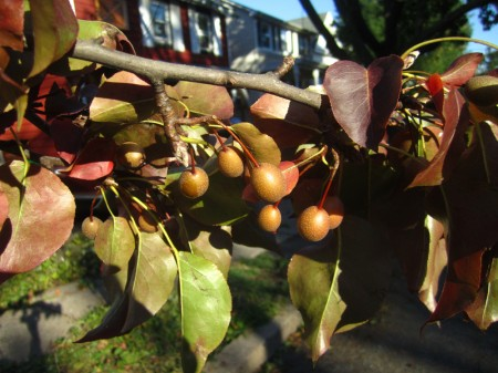 Bradford pears on tree