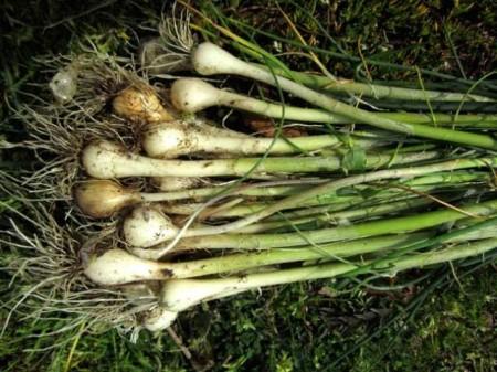 field-garlic