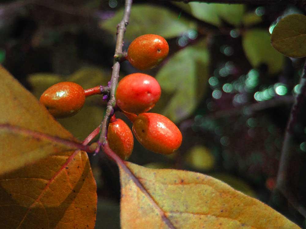 Spice-berries