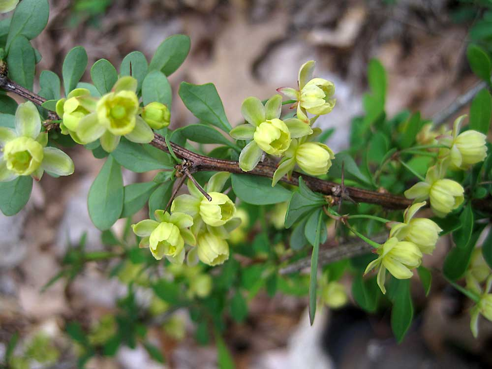 Barberry-flowers