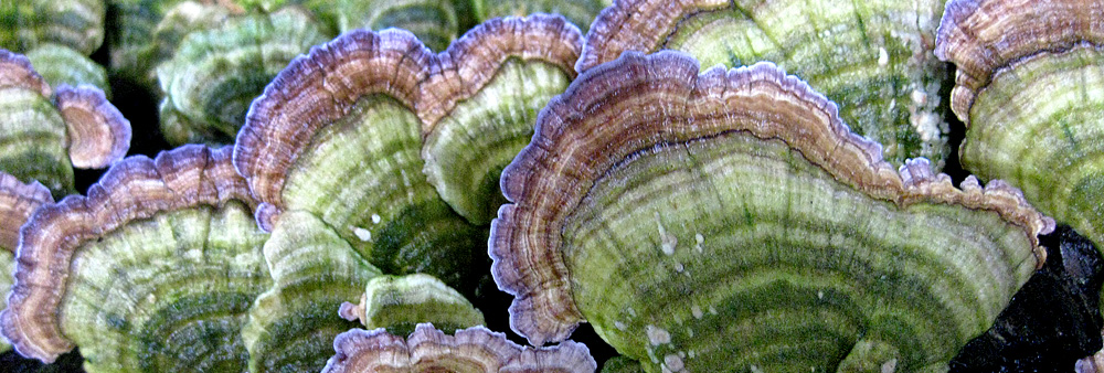 At almost any time of year, you will find Turkeytails (Trametes versicolor) growing on dead and fallen trees throughout the woods.  Apart from their ornate and colorful appearance they possess potent medicinal properties