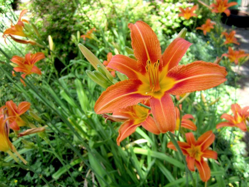 Daylily-flower
