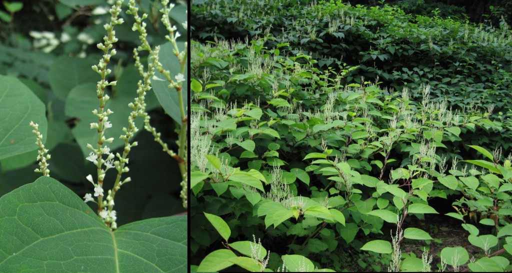 Knotweed is often seen covering embankments and ditches